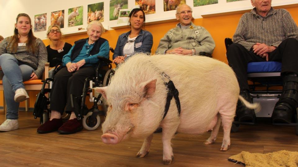 Therapie-Schwein Felix