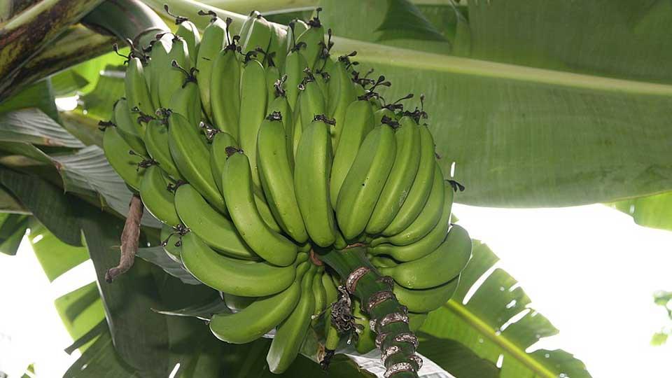 Banane Musa acuminata als Wundheilmittel.